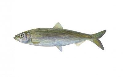 Fisch des Jahres 2021 – Der Hering