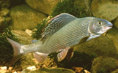 Fisch des Jahres 2011 – Die Äsche