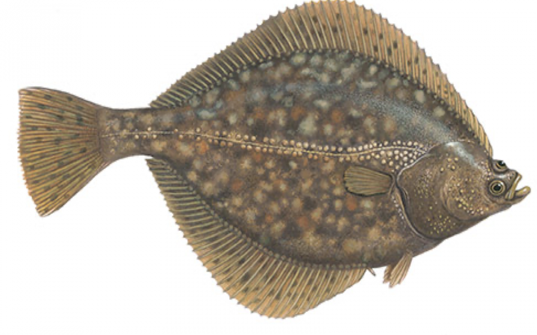 Fisch des Jahres 2017 – Die Flunder
