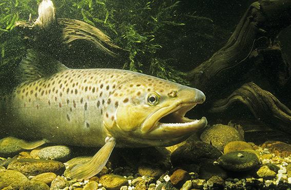 Die Forelle - Fisch des Jahres 2013