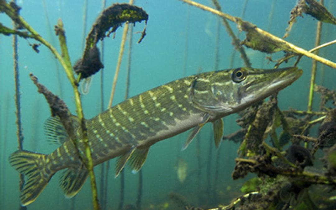 Fisch des Jahres 2016 – Der Hecht