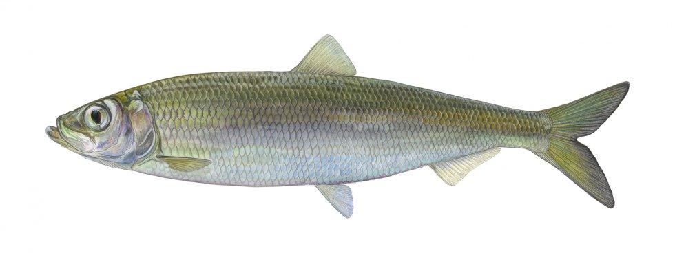 Fisch des Jahres 2021 – Der Herring