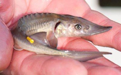 Fisch des Jahres 2014 – Der Stör